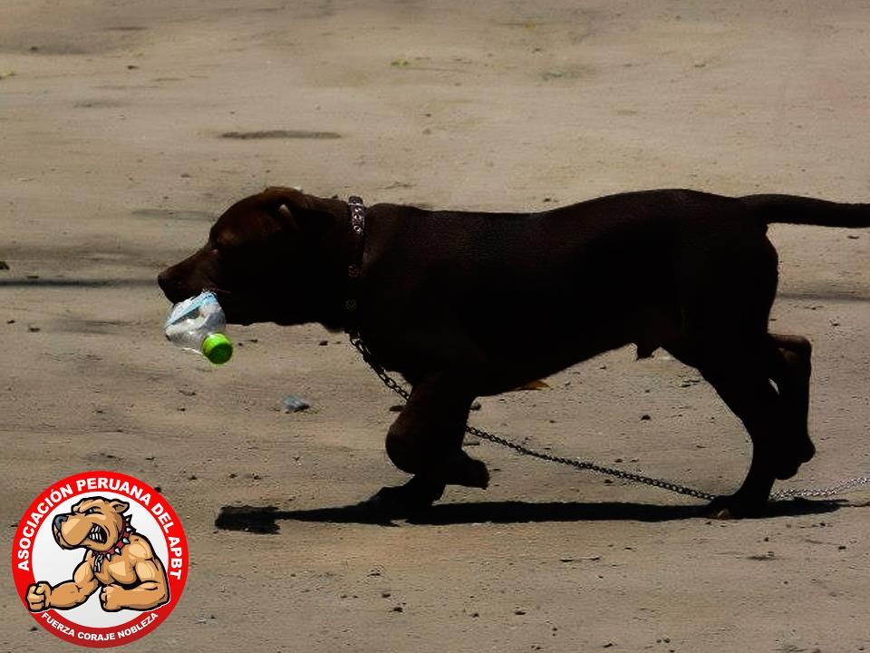 10 mitos sobre el pitbull