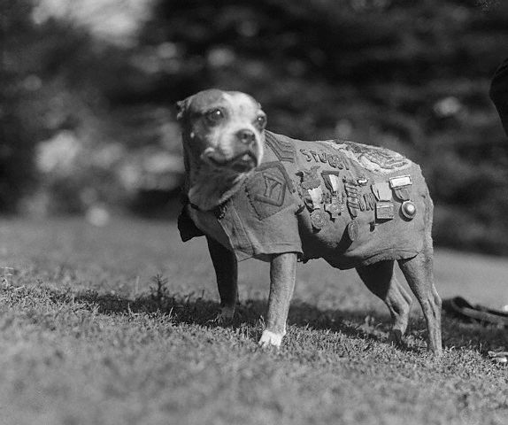 Sergeant Stubby wearing military uniform and decorations.