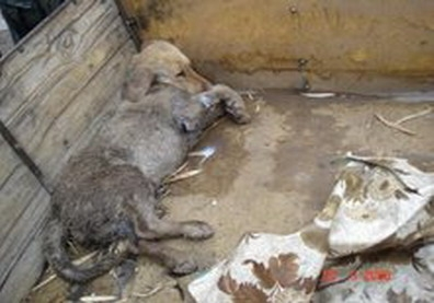 Víctima. Los labradores son utilizados para cebar a los pitbull y no sobreviven, como este que fue encontrado en Mendoza.