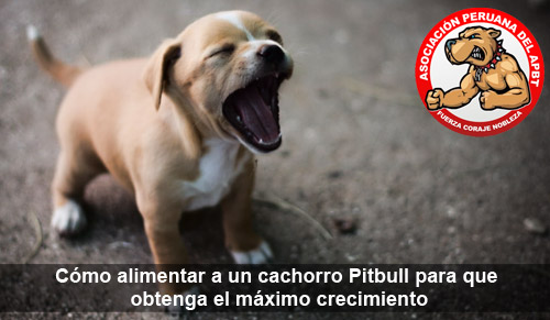 Cómo alimentar a un cachorro Pitbull para que obtenga el máximo crecimiento