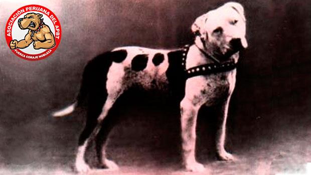 El American pit bull terrier (APBT)