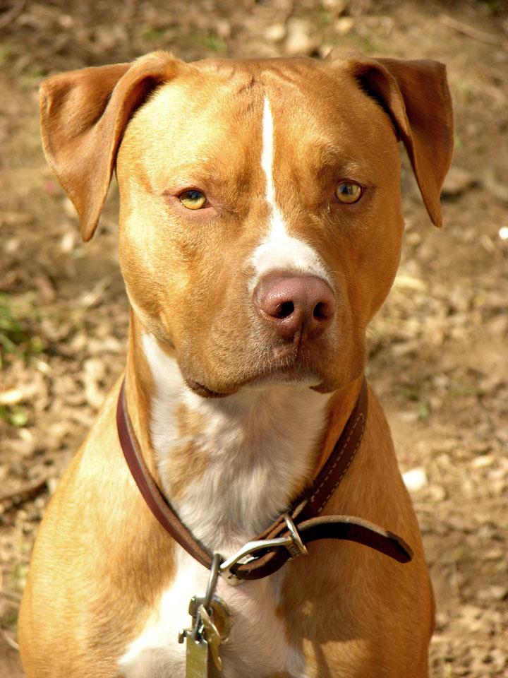 Derribando mitos y creencias sobre el pitbull terrier americano